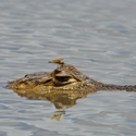 SPECTACLED CAIMAN AND DRAGONFLY, Cano Negro